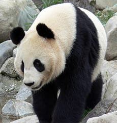 Panda - symbol of the eco-friendly cause